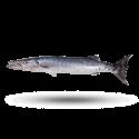 Barracuda – நெடுவா – ( Cut & Clean )