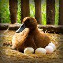 Duck Egg (வாத்து முட்டை) – 12 Eggs